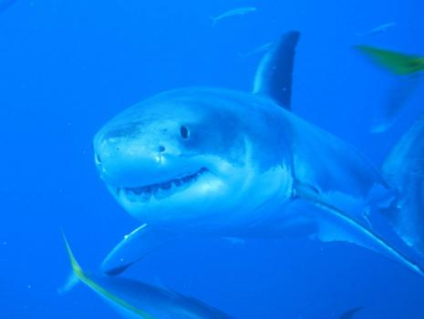 Great Whites are amazing!